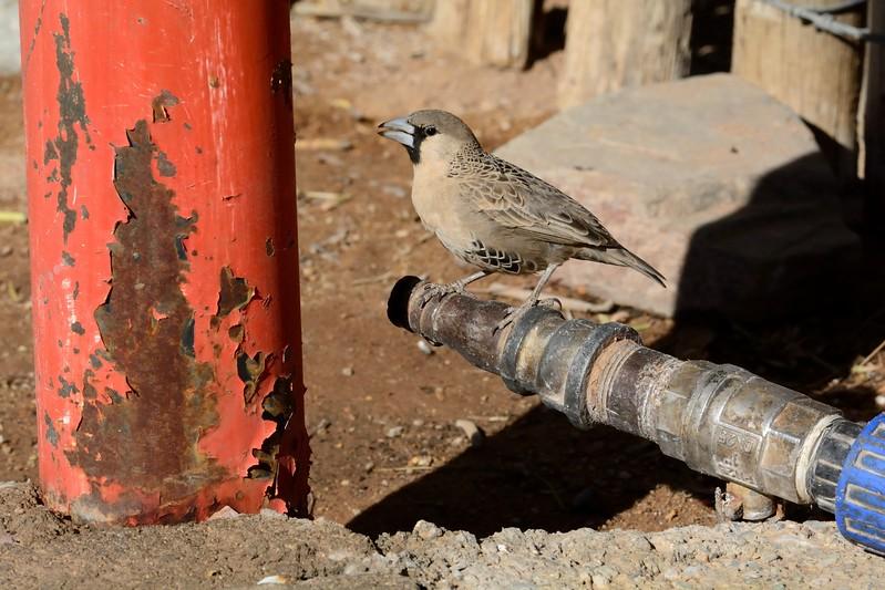 Sociable Weaver Namib Desert 2