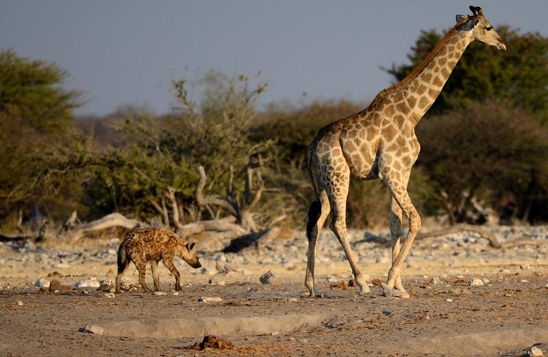 Spotted Hyena Etosha 2