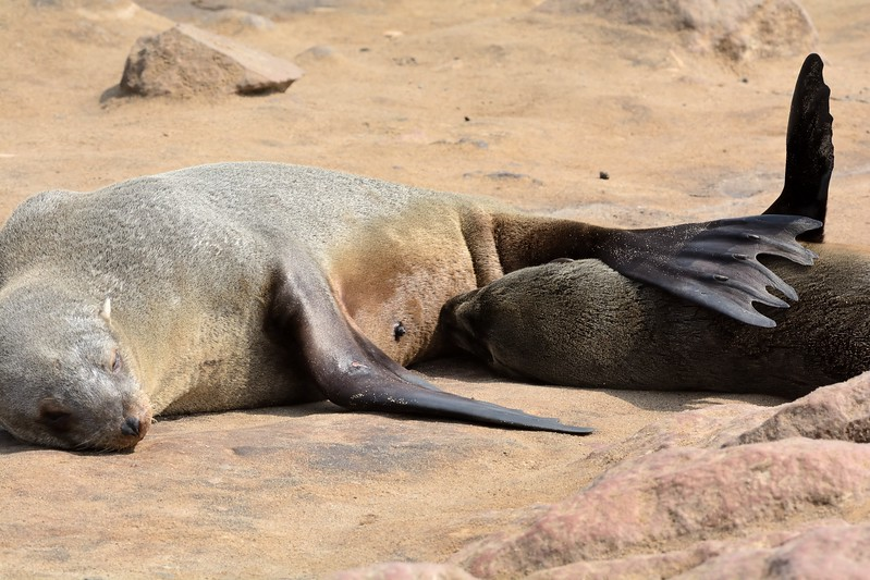 Cape Fur Seal Cape Cross 11