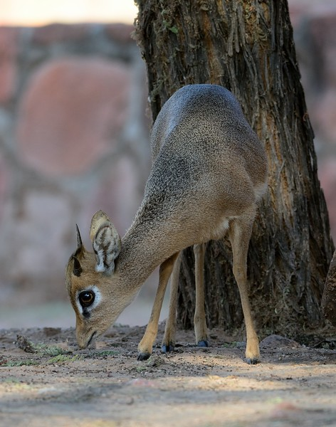 Damara Dik-dik Waterberg 6