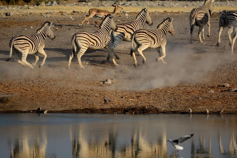 Plains Zebra Etosha 3 - Copy