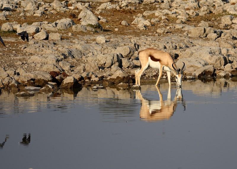 Springbok Etosha 2
