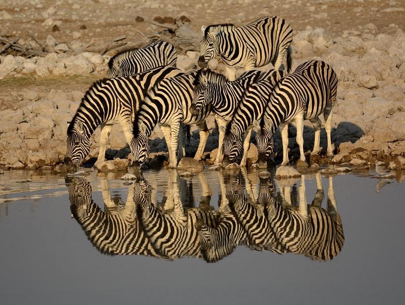 Plains Zebra Etosha 14 - Copy