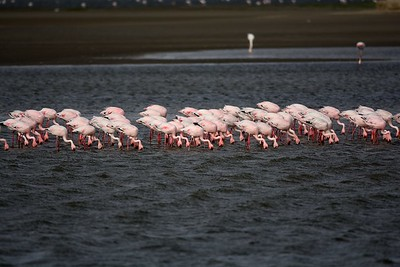 Lesser and Greater Flamingos Walvis Bay 14