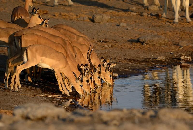 Impala Etosha 7