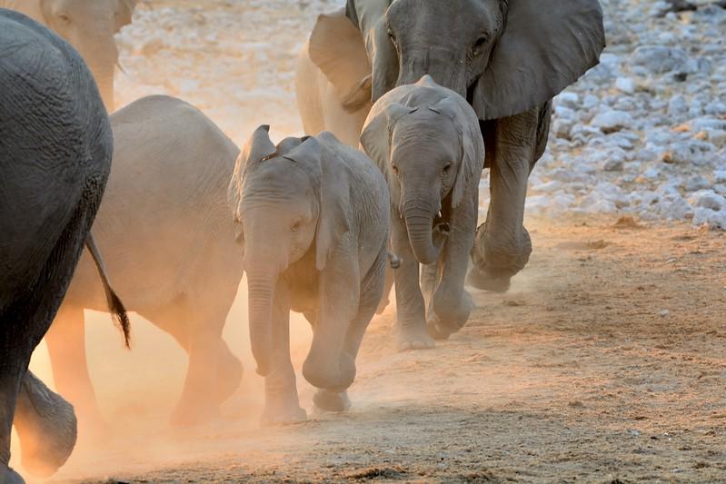 Elephant Etosha 36