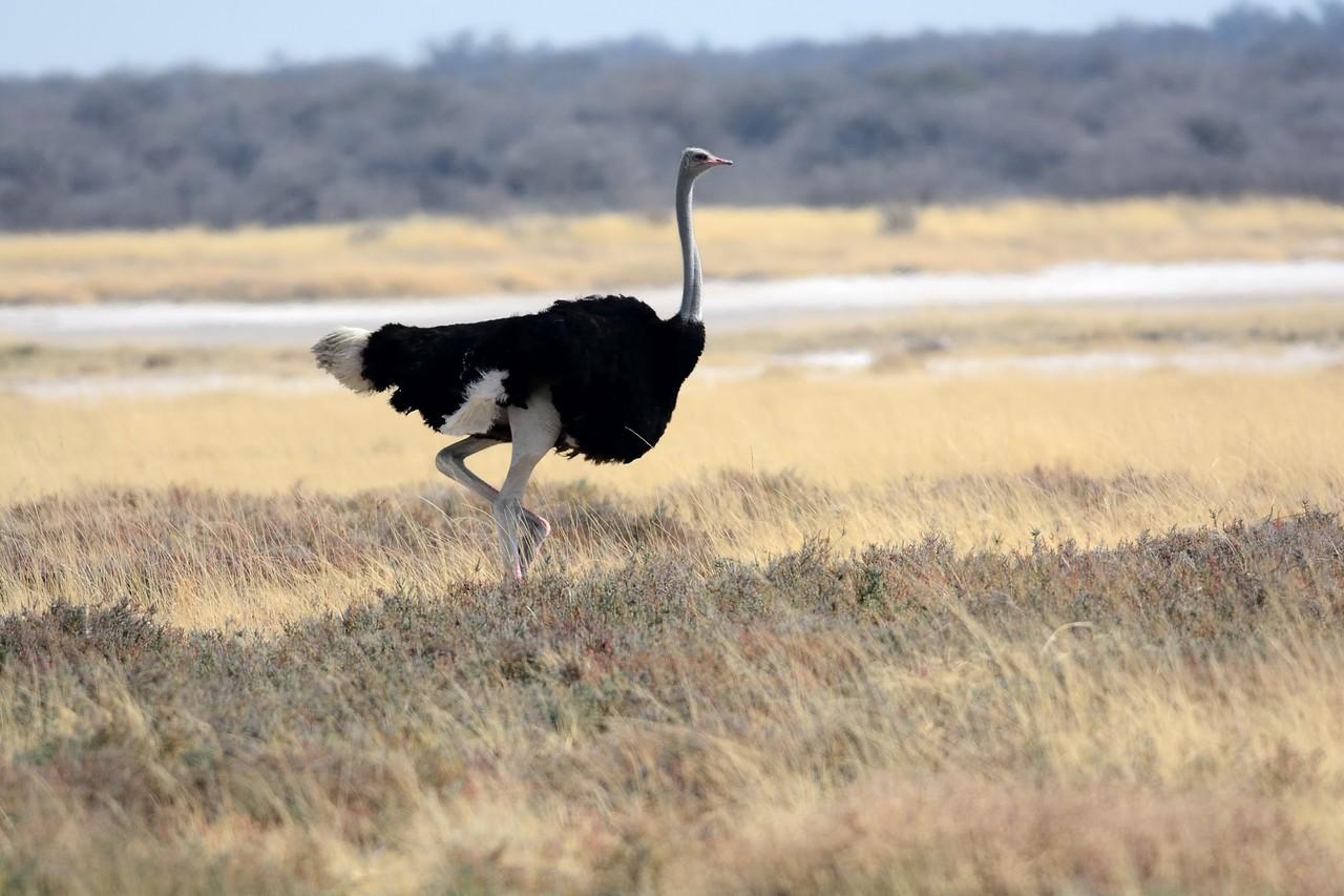 Common Ostrich Etosha 3