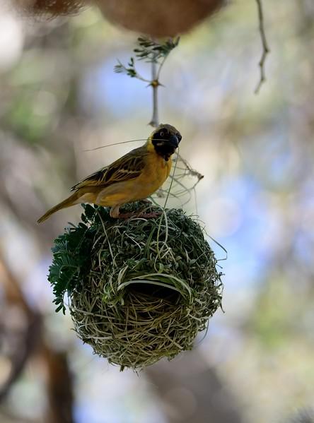 Southern Masked Weaver Namib Desert 3