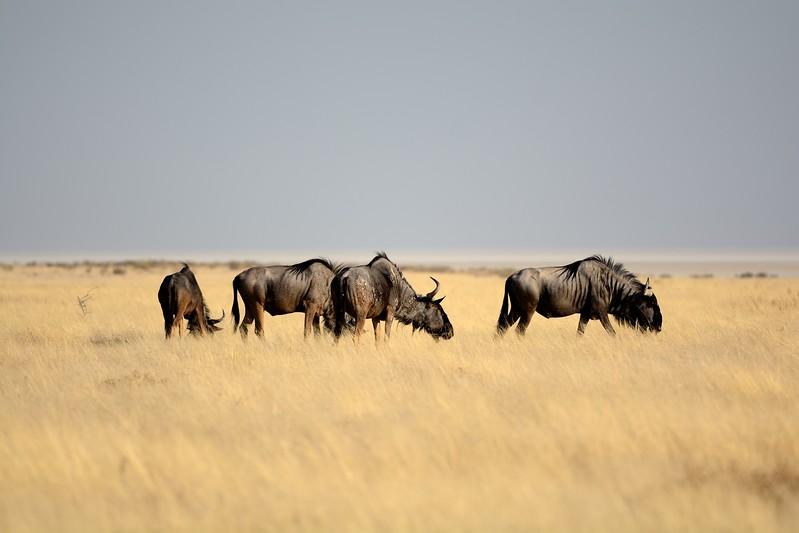 Blue Wildebeest Etosha 2
