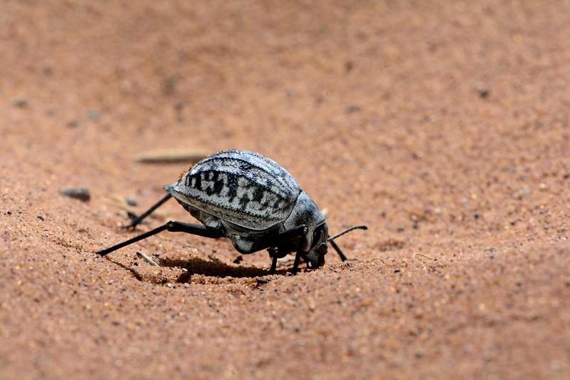 Dok Tokkie Beetle Namib Desert 1