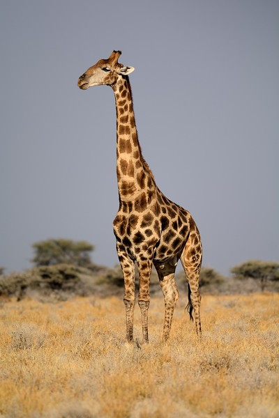 Giraffe Etosha 1 - Copy
