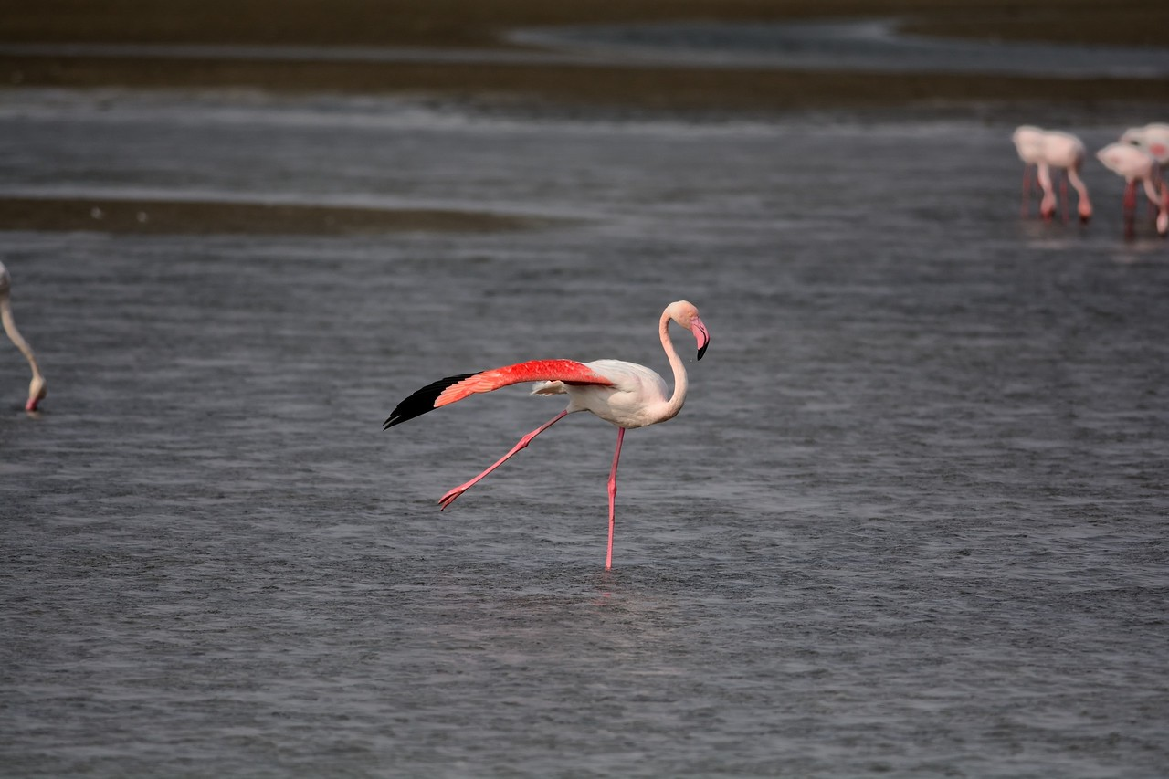 Lesser and Greater Flamingos Walvis Bay 8