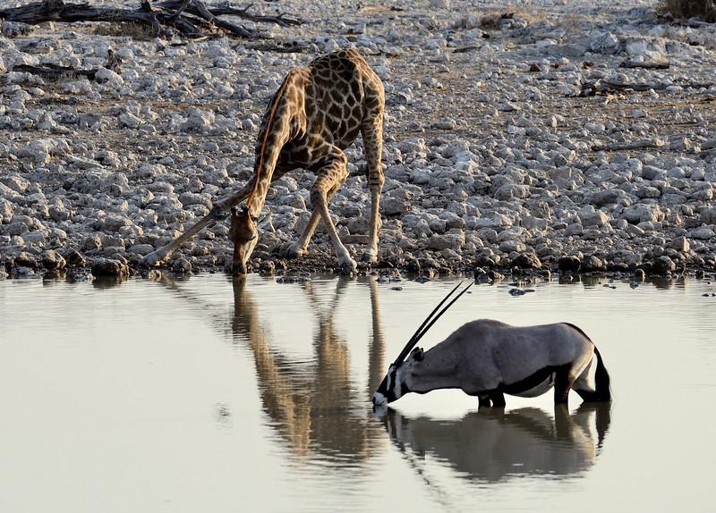 Giraffe Etosha 9 - Copy