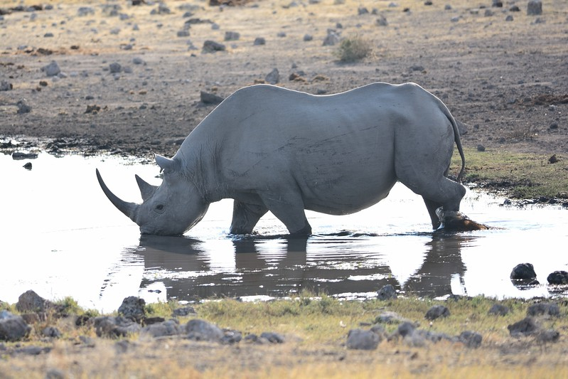 Square-lipped (White) Rhinocerous Etosha 2
