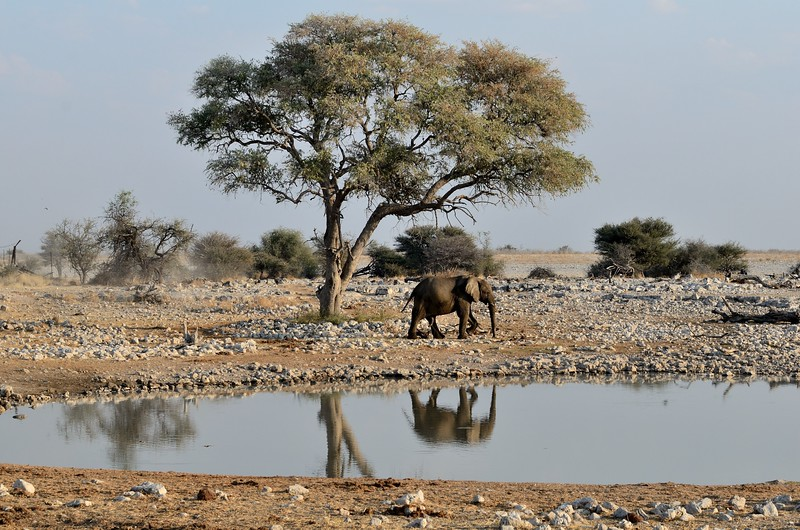 Elephant Etosha 47