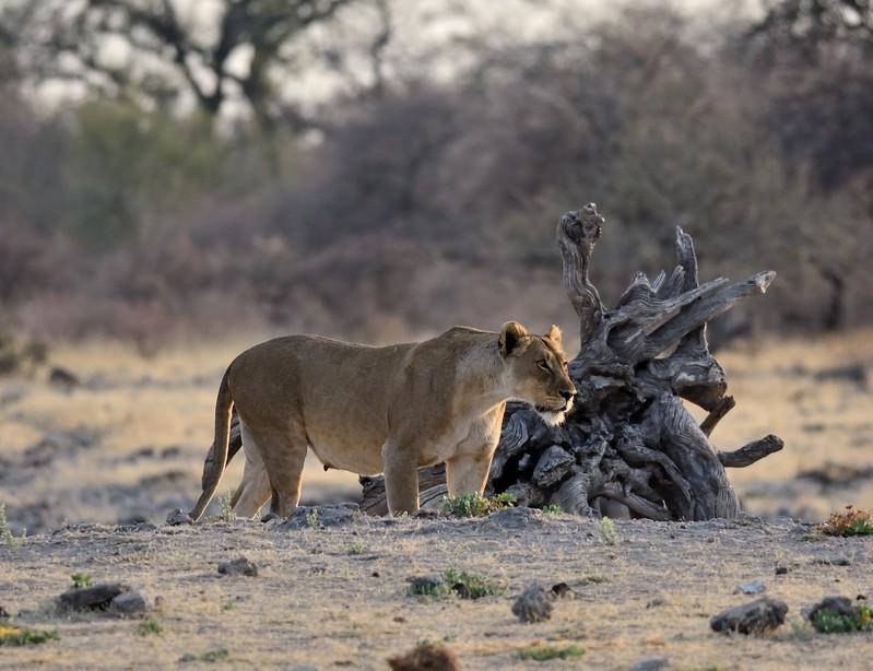 Lion pride Etosha 2