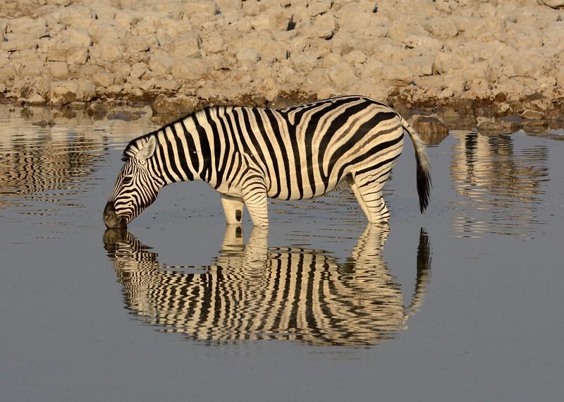 Plains Zebra Etosha 19