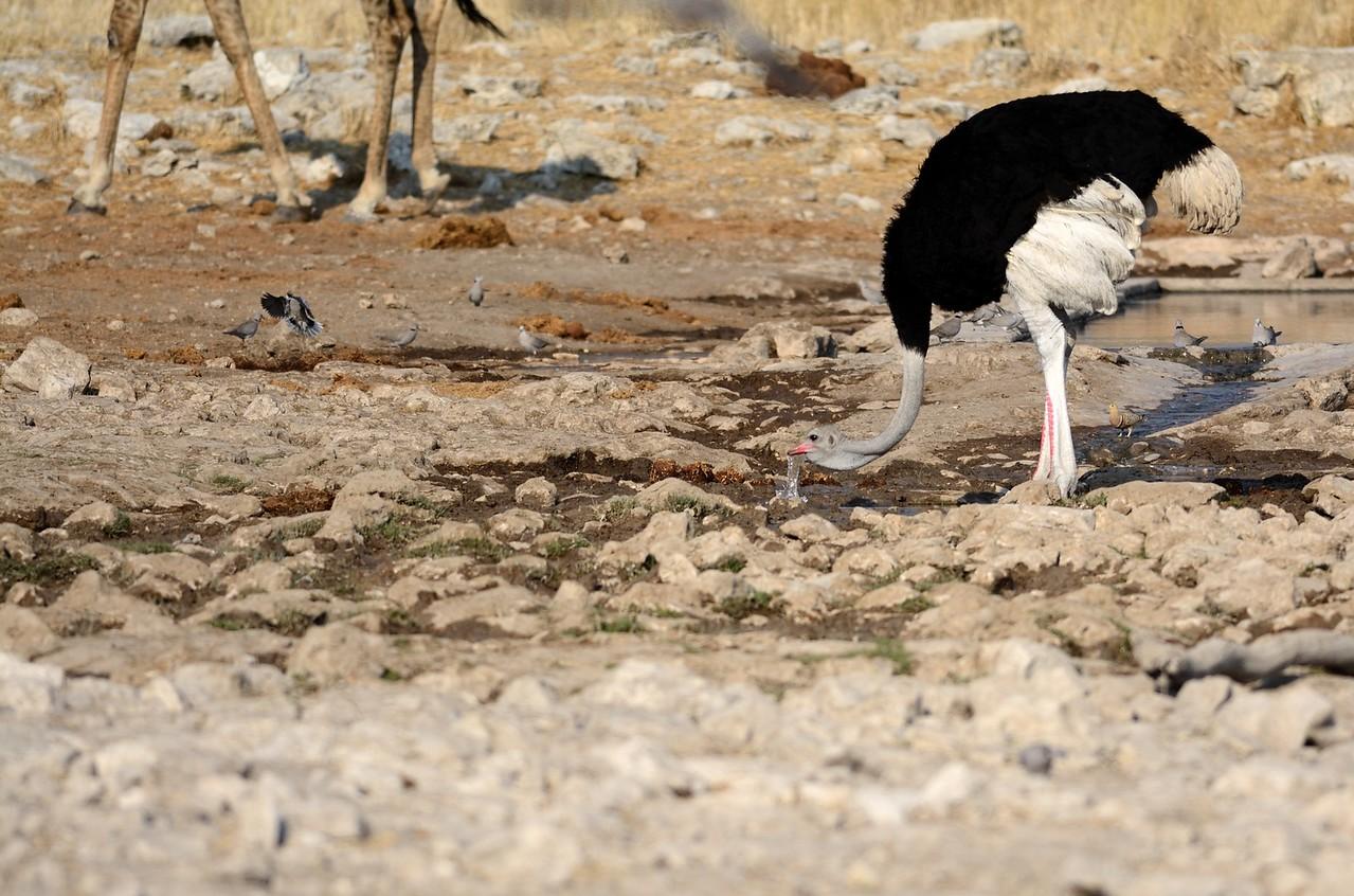 Common Ostrich Etosha 2