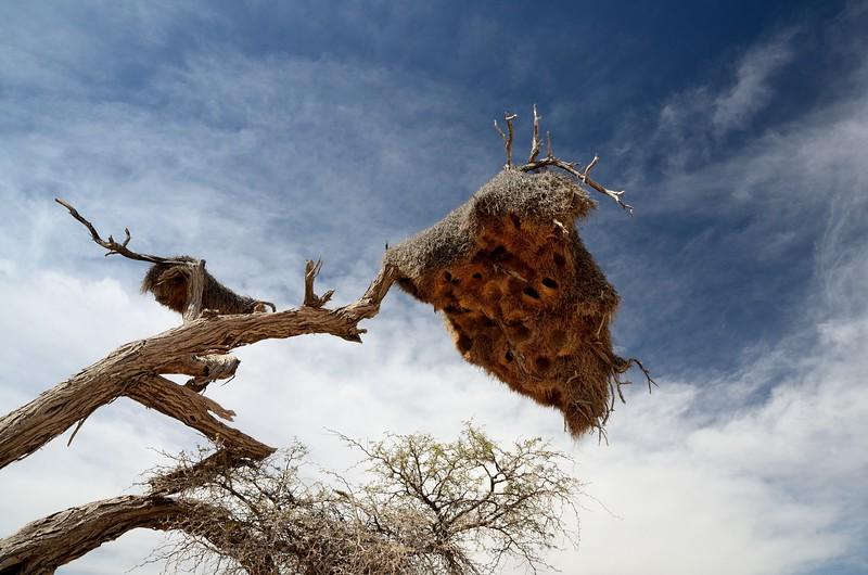 Sociable Weaver Namib Desert 4