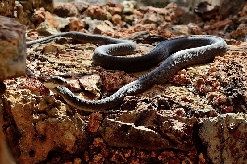 Black Mamba Etosha reptile zoo 1