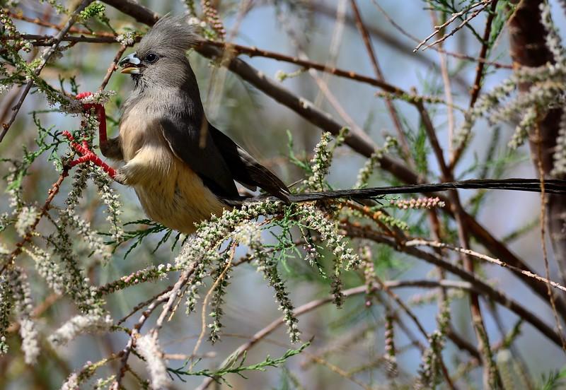 White-backed Mousebird Namib Desert 2