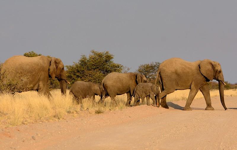 Desert Elephant Namib Desert 4