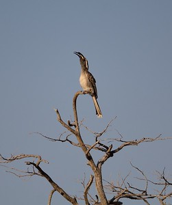 African Grey Hornbill Etosha National Park Namibia