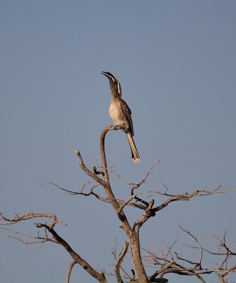 African Grey Hornbill Etosha 1