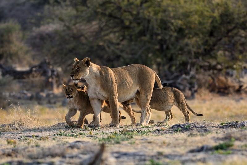 Lion pride Etosha 17