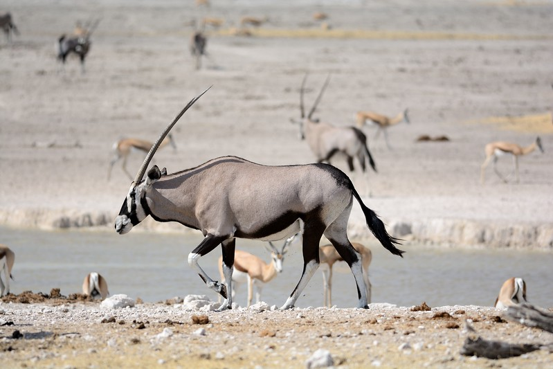 Oryx Etosha 8