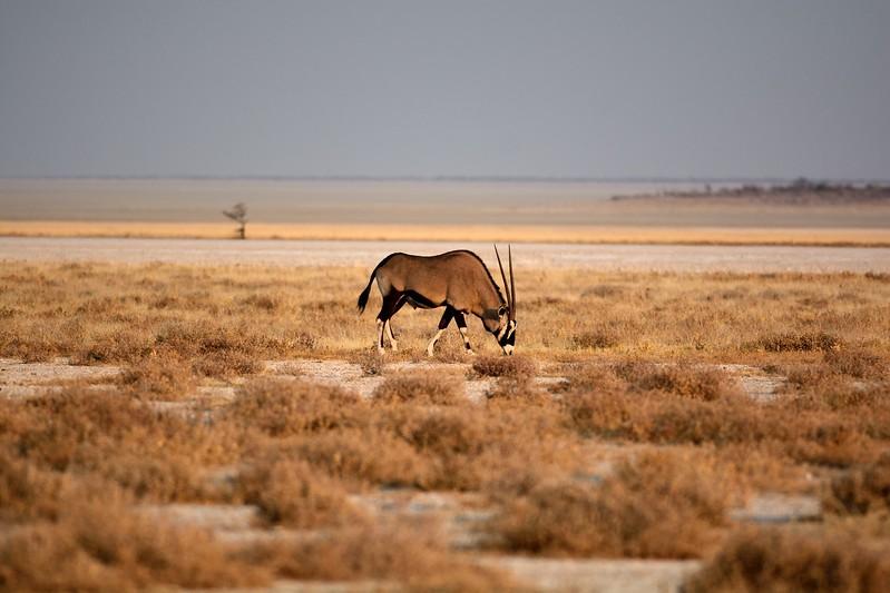Oryx Etosha 1