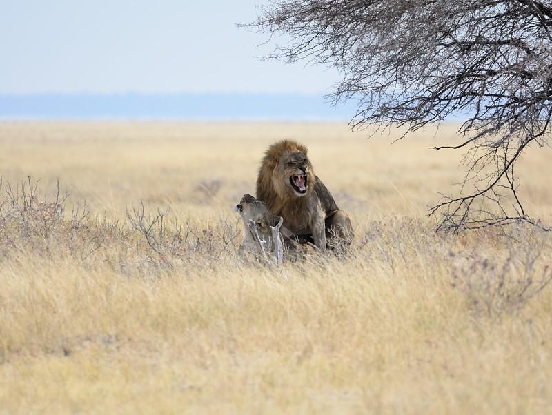 Lions mating Etosha 6