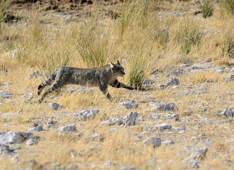 African Wild Cat Etosha 9
