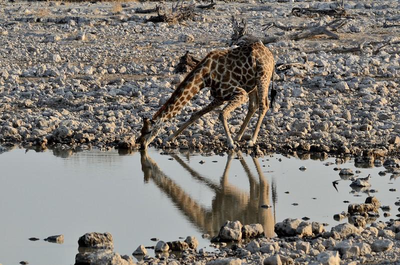 Giraffe Etosha 7
