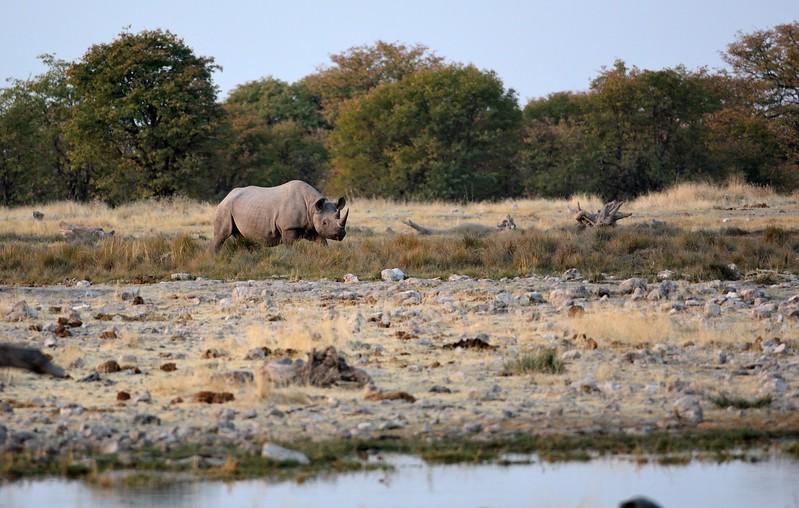 Hooked-lipped (Black) Rhinocerous Etosha 1