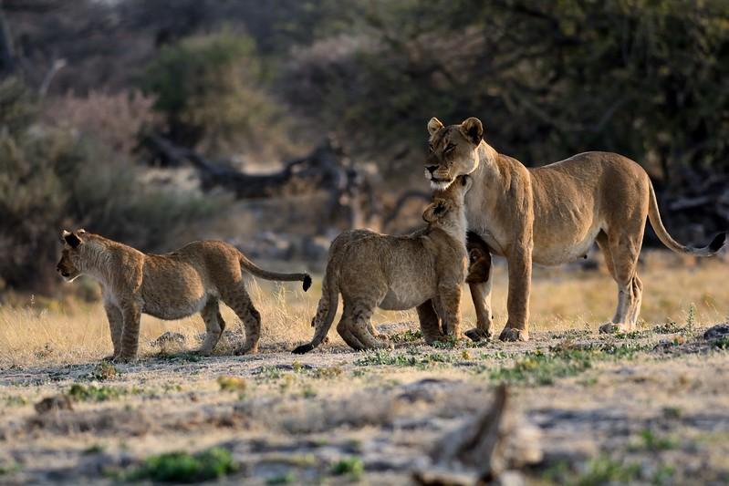 Lion pride Etosha 18