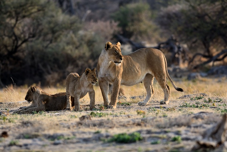 Lion pride Etosha 22