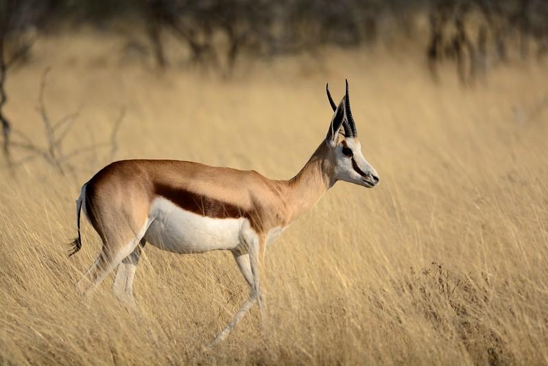 Springbok Etosha 4
