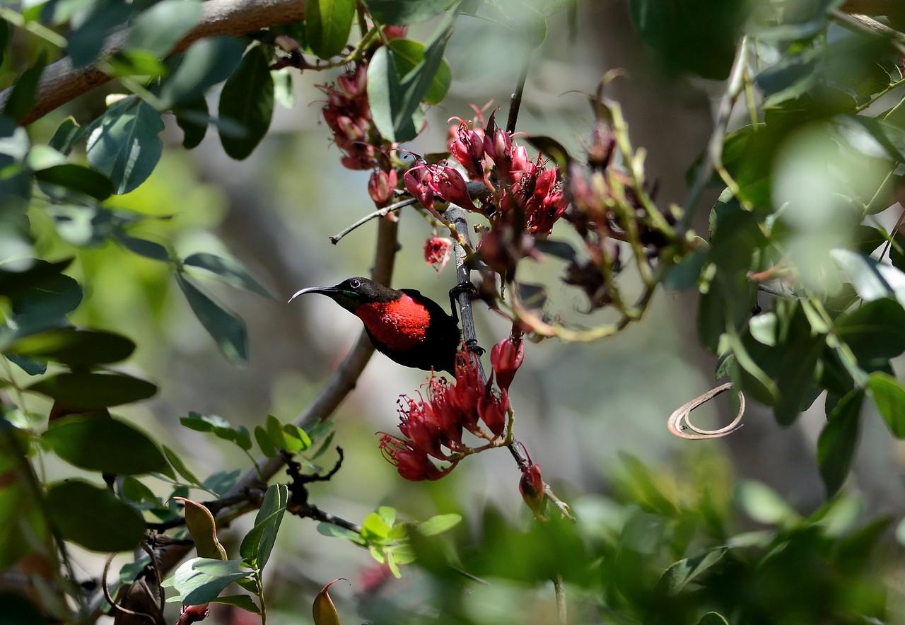 Scarlet-chested Sunbird Waterberg 1