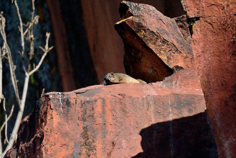 Rock Hyrax or Dassie Waterberg 9
