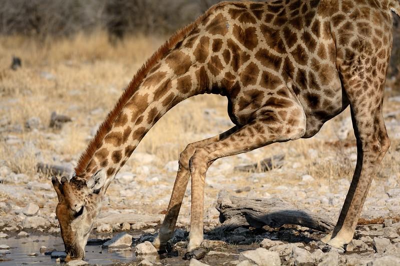 Giraffe Etosha 3 - Copy
