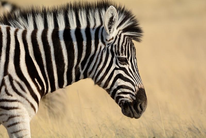 Plains Zebra Etosha 7