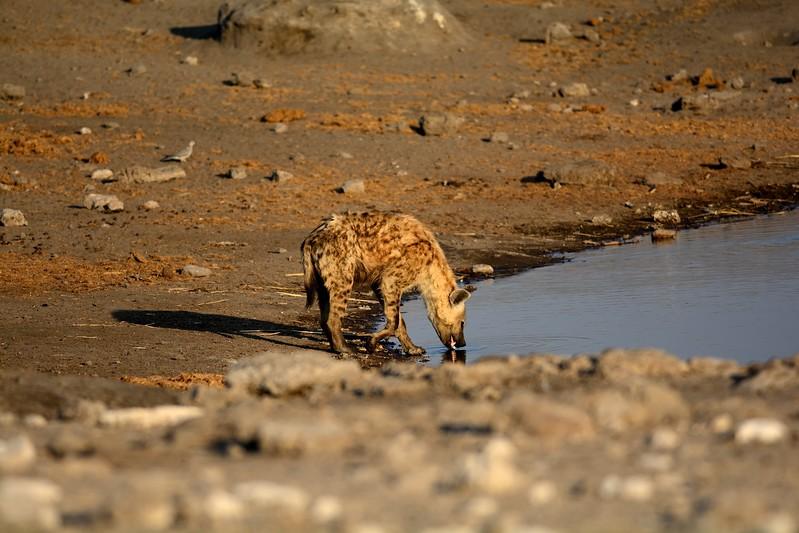 Spotted Hyena Etosha 1