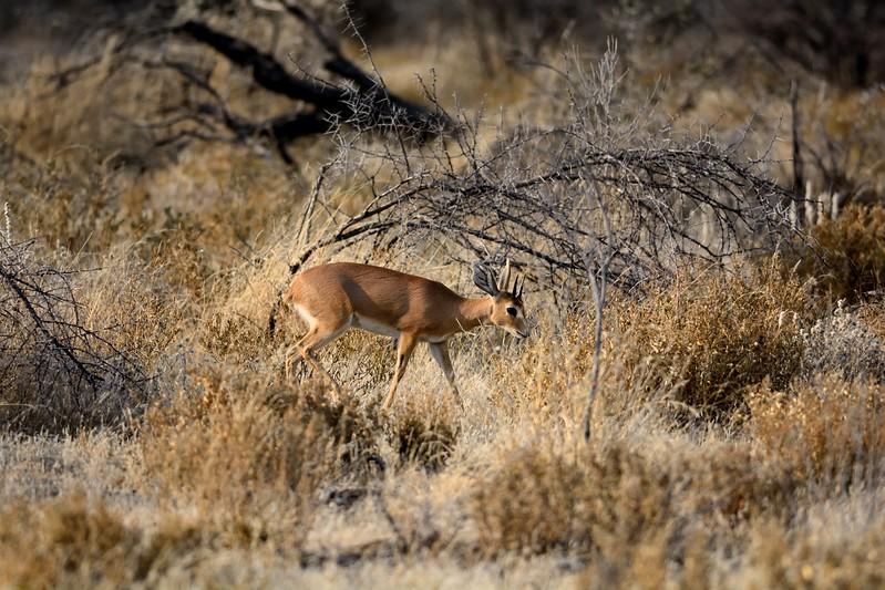 Steenbok Etosha 1