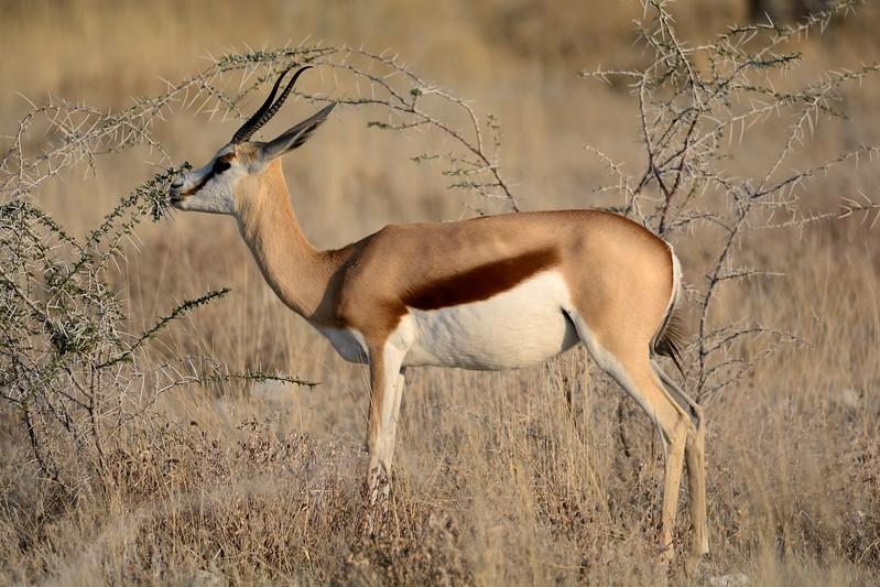 Springbok Etosha 3