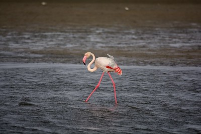 Greater Flamingo Walvis Bay Namibia