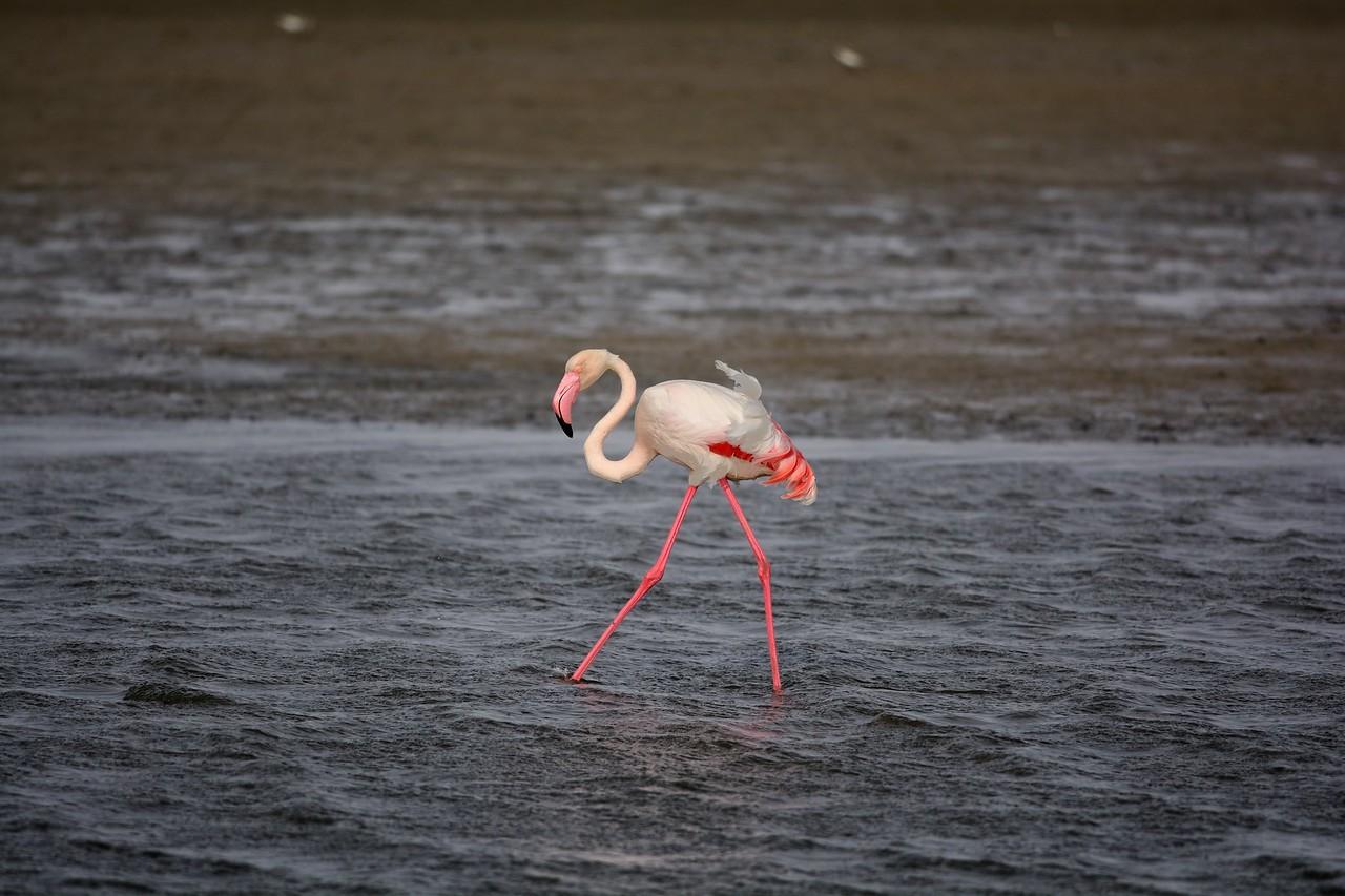 Greater Flamingos Walvis Bay 12