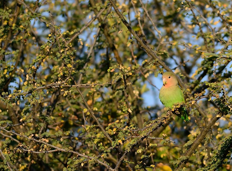 Rosy-faced Lovebird Waterberg 3