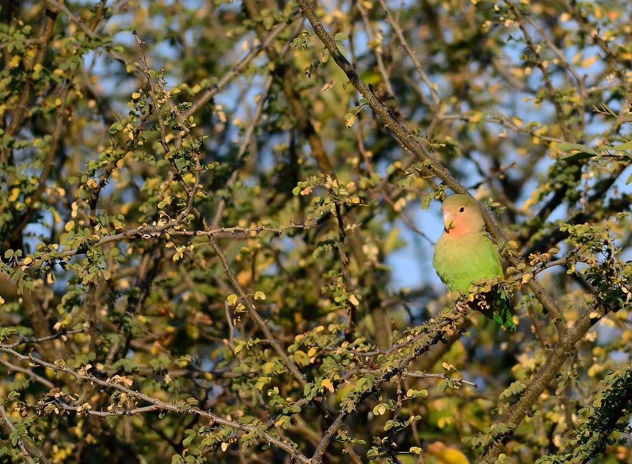 Rosy-faced Lovebird Waterberg 3
