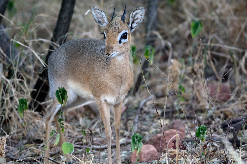 Damara Dik-dik 2 - Copy